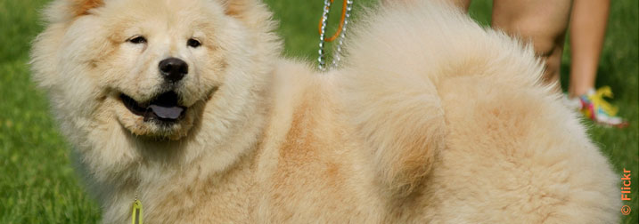 Chien : Chow-chow