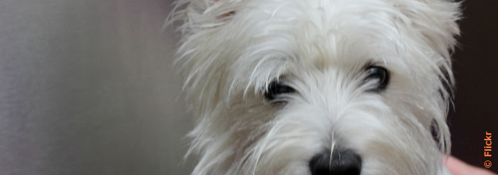 Chien : West Highland white terrier